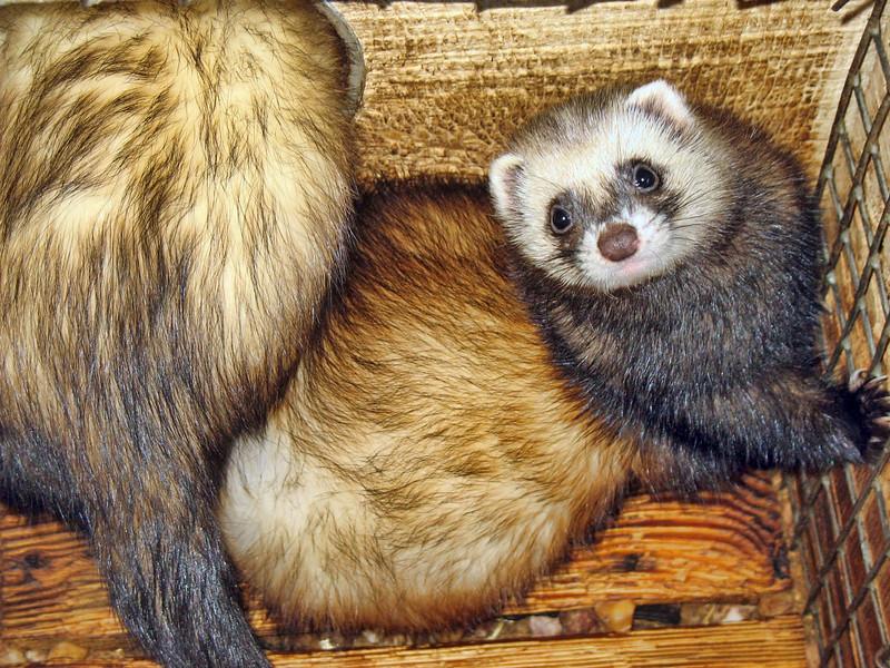 Fuzzy ferret. (RS)