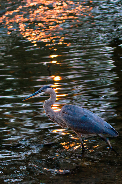 Day 1:  Blue Heron in the DuPage River.
