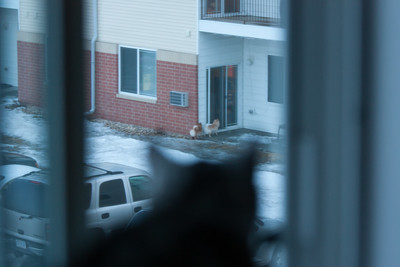 Apartment cat is watching your dogs
