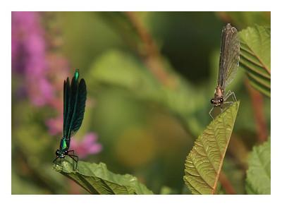 Caloptéryx vierge mâle et femelle- Calopteryx virgo