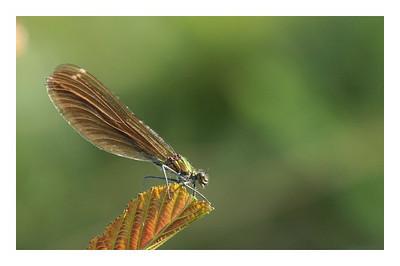 Caloptéryx vierge femelle- Calopteryx virgo