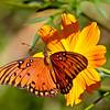 Gulf Fritillary butterfly take 2 (9/29/2010)