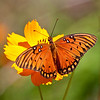 Gulf Fritillary butterfly take 3 (9/29/2010)