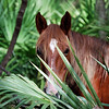"""Horse Peeking through Palmetto Fronds"" A wild horse on Cumberland Island takes a peek through the palmetto palm fronds off Grand Avenue on Cumberland Island. Cumberland Island Is a National Park and home for these wild animals.  They live and roam freely on this fabulous grand island. This photo is featured as an Honorable Mention in the 2008 Showcase Camden County Photo Contest. Visit  <a href=""http://www.co.camden.ga.us"">http://www.co.camden.ga.us</a>"