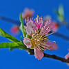 """Future Peach Blossom"" featured in the 2009 Annual Report to the Citizens of Camden County and the Living the Dream....in Coastal Camden County,Geogia 2010-2011 Camden County Chamber of Commmerece Relocation Guide. Visit  <a href=""http://www.camdenchamber.com"">http://www.camdenchamber.com</a> &  <a href=""http://www.co.camden.ga.us"">http://www.co.camden.ga.us</a>"