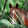 A wild horse on Cumberland Island takes a peek through the palmetto palm fronds off Grand Avenue.  Cumberland Island National Seashore is home for these wild animals.  They live and roam freely on this fabulous grand island.