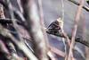 Pine Siskin Perch