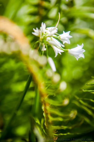 White Brodiaea