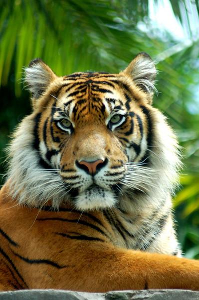 Sumatran Tiger - The Australia Zoo - Beerwah, Queensland