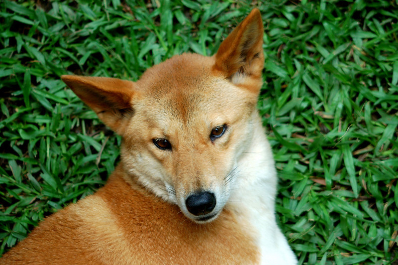 Dingo - The Australia Zoo - Beerwah, Queensland