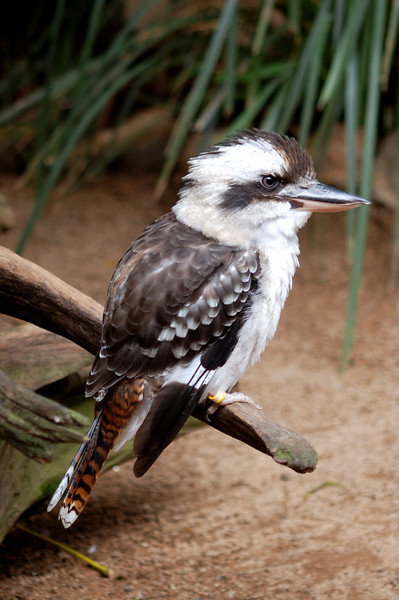 Kookaburra - The Australia Zoo - Beerwah, Queensland