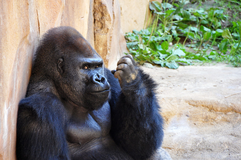 Gorilla - Omaha's Henry Doorly Zoo, Nebraska