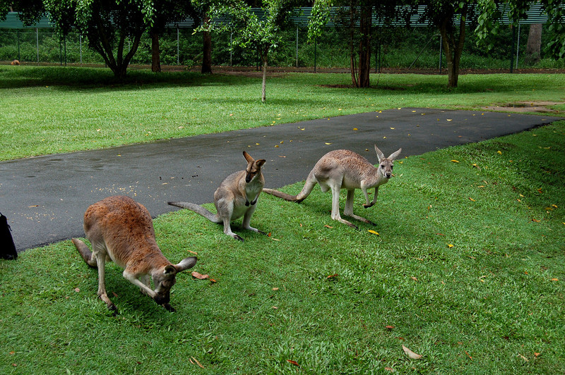 Kangaroos - The Australia Zoo - Beerwah, Queensland