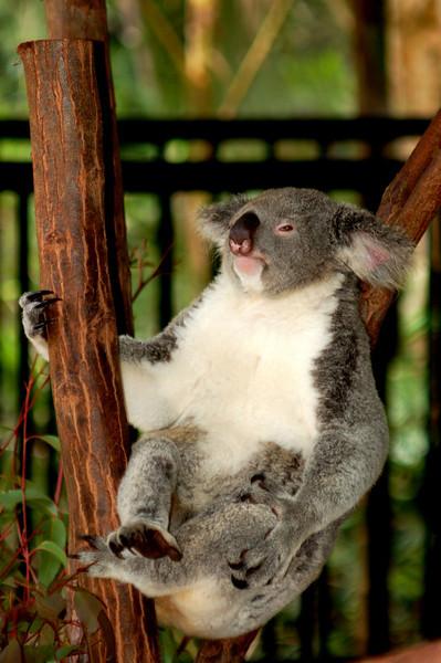 Koala - The Australia Zoo - Beerwah, Queensland