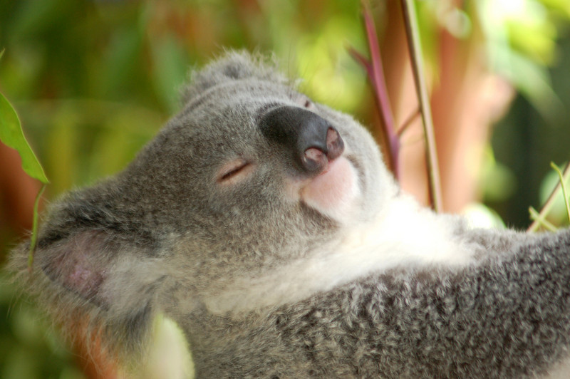 Koala - The Australia Zoo - Beerwah, Queensland