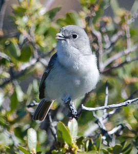 Gray Vireo Kitchen Creek 4-3-14