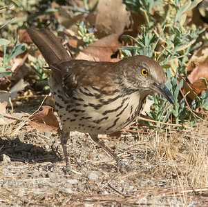 Brown Thrasher Jacumba 10-30-14