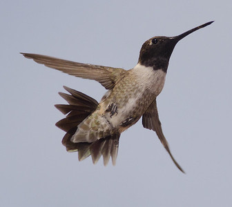 Black-chinned Hummingbird Jacumba 4-9-14