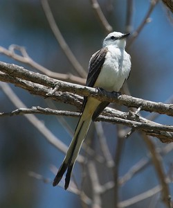 Scissor-tailed Flycatcher.  5-3-17 Twin Trails Park.  This is a returning bird form last year, again paired up with a Western Kingbird, a close relative.