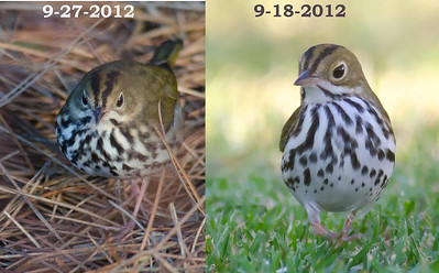 Side-by-side comparison of the two recent ovenbirds at FRNC.