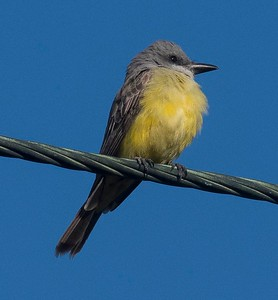 DSC_1873 Tropical Kingbird 3-25-17 Famosa