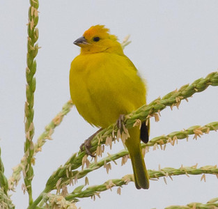 Saffron Finch - Community Gardens TRV 7-7-13.  Escaped exotic from TJ.
