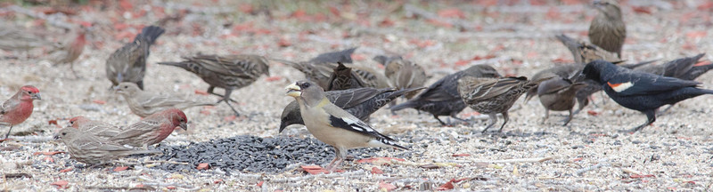 Evening Grosbeak and the local birds - note tricolored blackbird. 1-23-2013