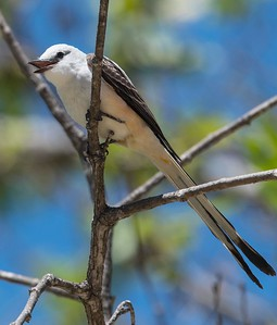 Scissor-tailed Flycatcher. 5-3-17 Twin Trails Park