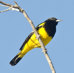 Scott's Oriole Jacumba 11-4-12.  A very late migrant or an unexpected wintering bird.