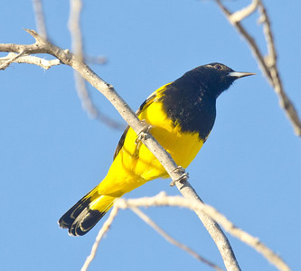 Scott's Oriole Jacumba 11-4-12  A very late migrant or an unexpected wintering bird.