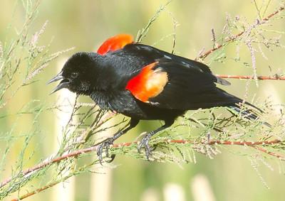 EGK_4325 Red-winged Blackbird Jacumba 4-21-2012