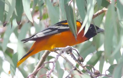 Baltimore Oriole Balboa Park 2-19-2012