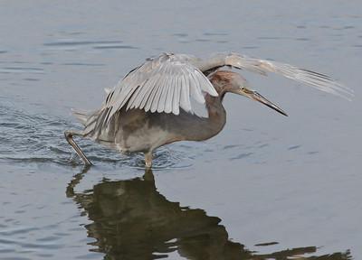 Reddish Egret 1-11-12 San Diego River