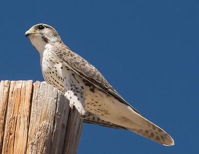 Prairie Falcon Buckman Springs 9-26-14