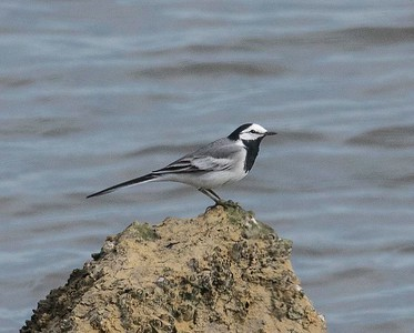White Wagtail 4-25-17 SD River