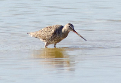 Hudsonian Godwit, Imperial County 5-25-2013