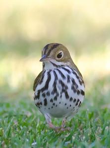 Ovenbird FRNC 9-18-12