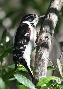 Downy Woodpecker 4-1-11 MTRP