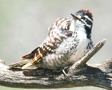 Nuttal's Woodpecker (F) 4-23-10 Kitchen Creek. Odd brown color.