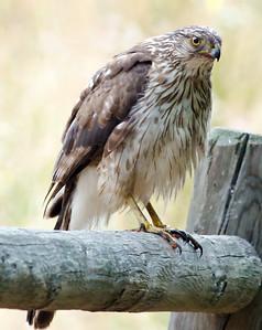 Cooper's Hawk - immature  5-26-11 MTRP