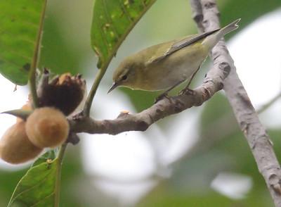Tennessee Warbler 11-19-10 Balboa Park