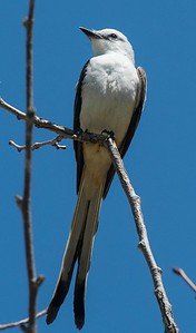 Scissor-tailed Flycatcher 5-3-17 Twin Trails Park