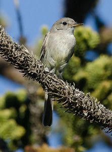 Gray Flycatcher 2-11-11 Balboa Park