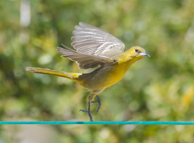 Dancing female hooded oriole 3-22-14