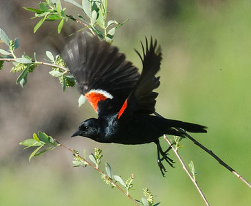 EGK_4230 Tricolored Blackbird Jacumba 4-21-2012
