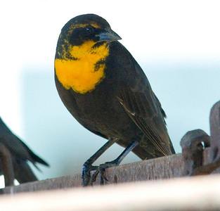 Yellow-headed Blackbird - Verger Dairy