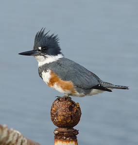 Belted Kingfisher SD Riveer 1-11-12