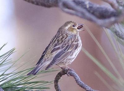 Cassin's Finch - Laguna 3-23-14