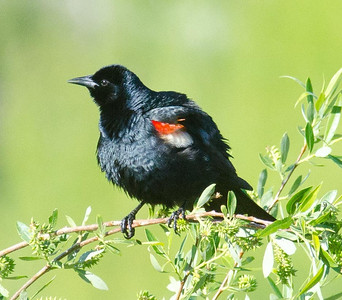 EGK_4268 Tricolored Blackbird Jacumba 4-21-2012