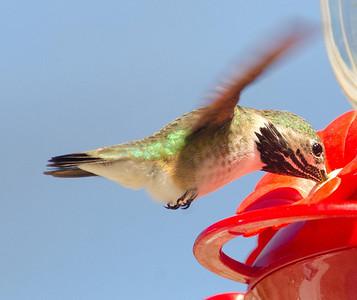 Calliope Hummingbird Jacumba 4-3-14
